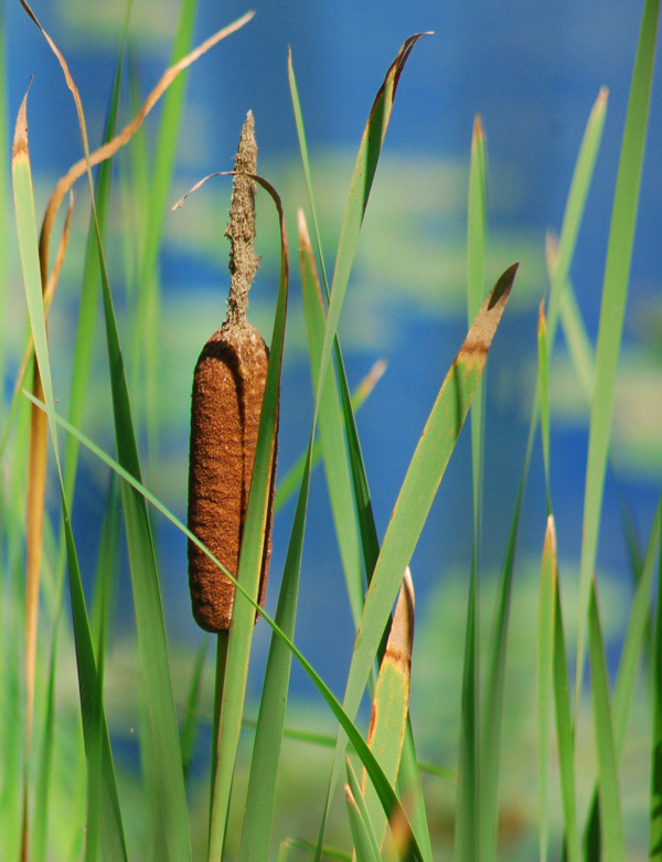cattail monitoring project a collaboration between the nwrc and nps